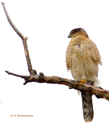 male Cooper's Hawk? - 2