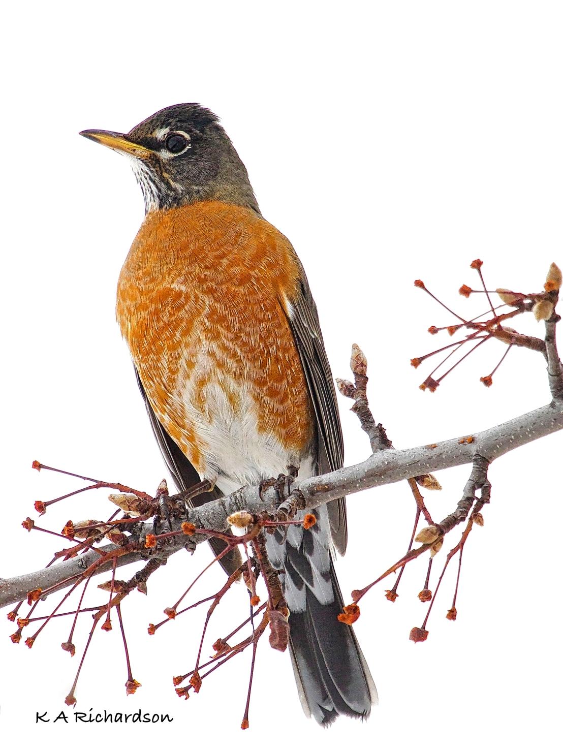 Winter Robin - 3
