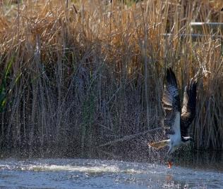 (Pandion haliaetus) Belmont Pond, Kelowna, BC.