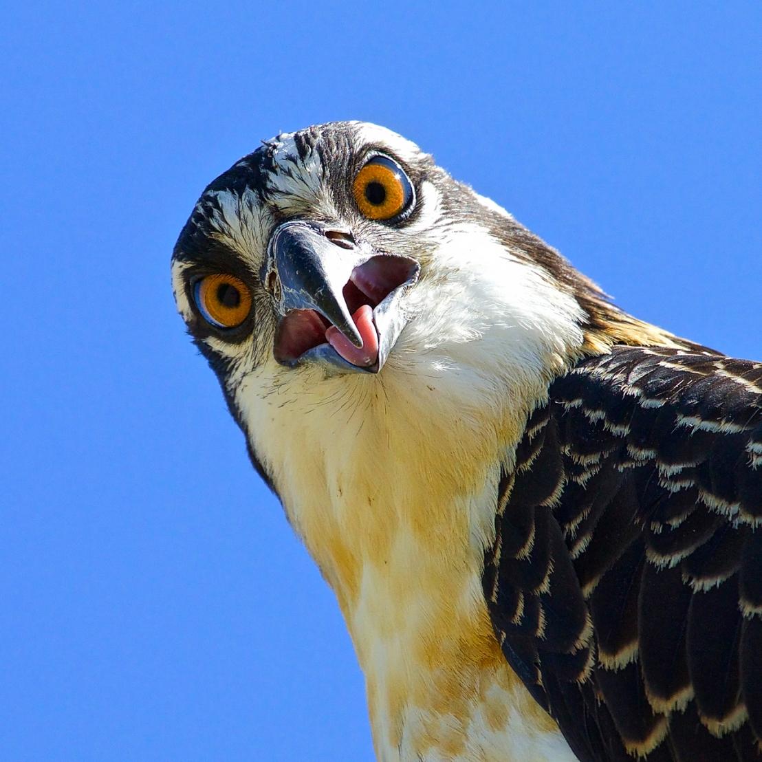 osprey-closeup-07a