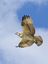 Osprey juvenile Sal in flight - 1a