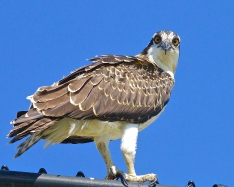 pre-osprey-closeup