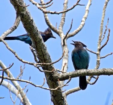 Steller's Jays: parent and juvenile, Okanagan Lake Park