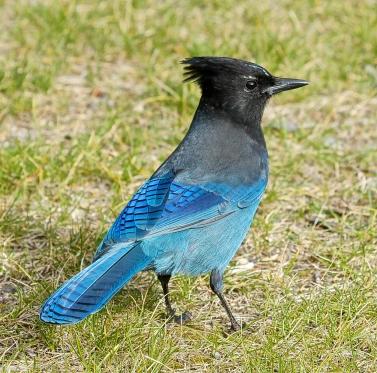 Steller's Jay, back profile, Manning Park