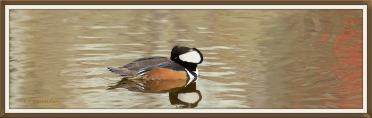 "(Lophodytes cucullatus) Belmont Pond, Kelowna, BC. ""Between zones"""