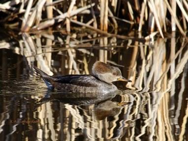 Female Hoodie in Belmont Pond, late February.