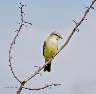 western-kingbird-juvenile
