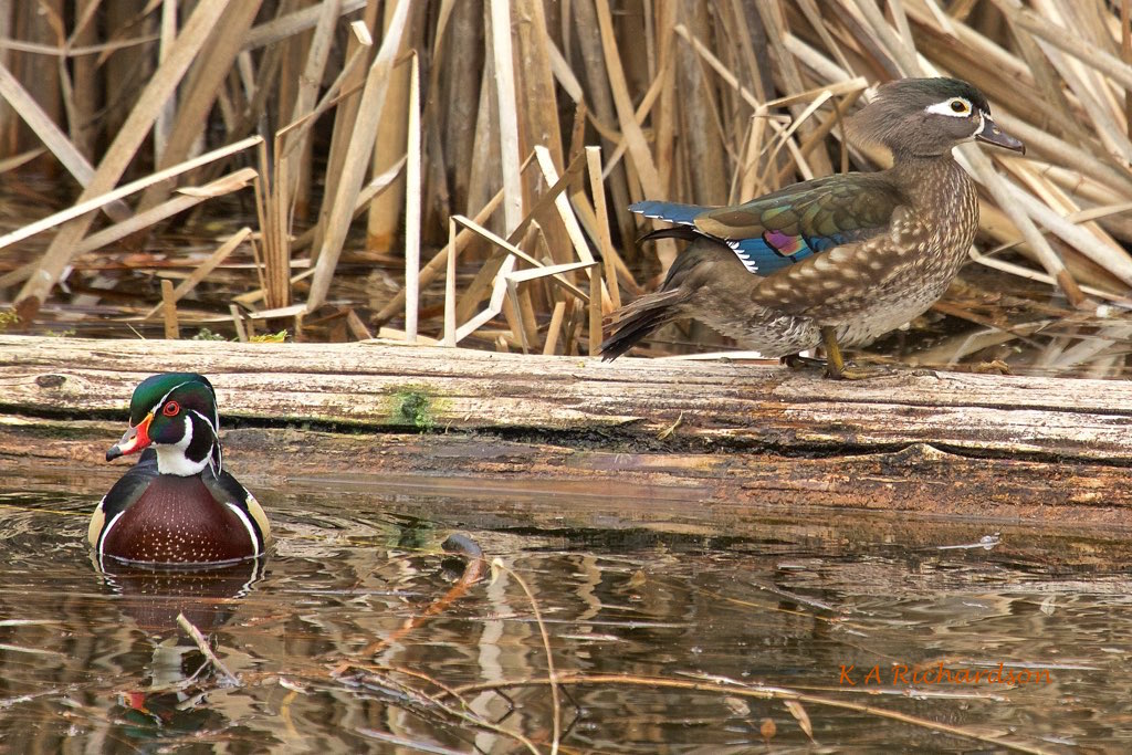 Wood Ducks Belmont small - 1