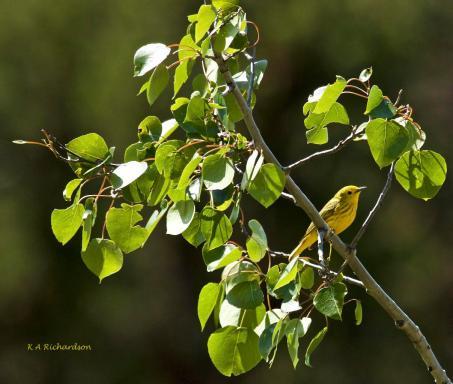 Late spring Yellow Warbler