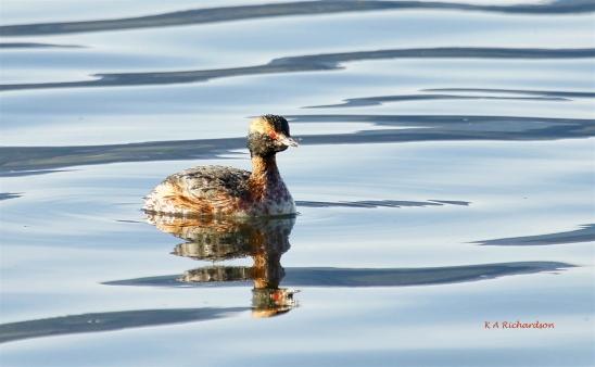 Horned Grebe in spring plumage (record shot), Okanagan Lake
