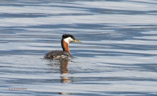 Red-necked Grebe, Okanagan Lake, summer.