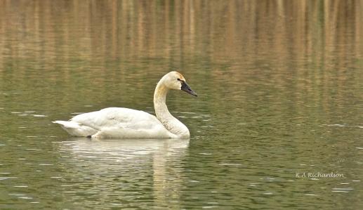 Tundra Swan in Thomson Marsh.