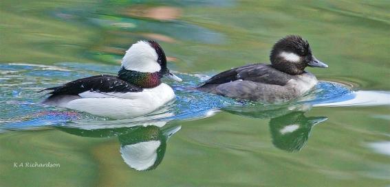 Another Bufflehead pair, Hall Road Fish Pond.