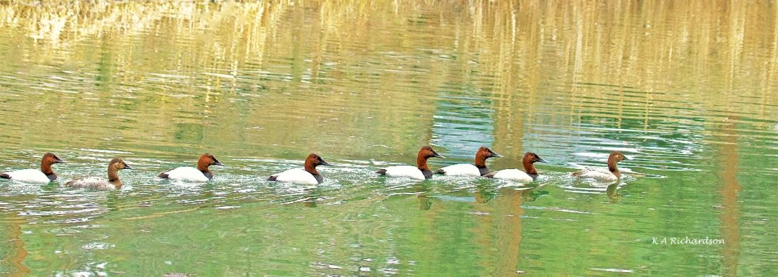 Canvasback Duck.jpg