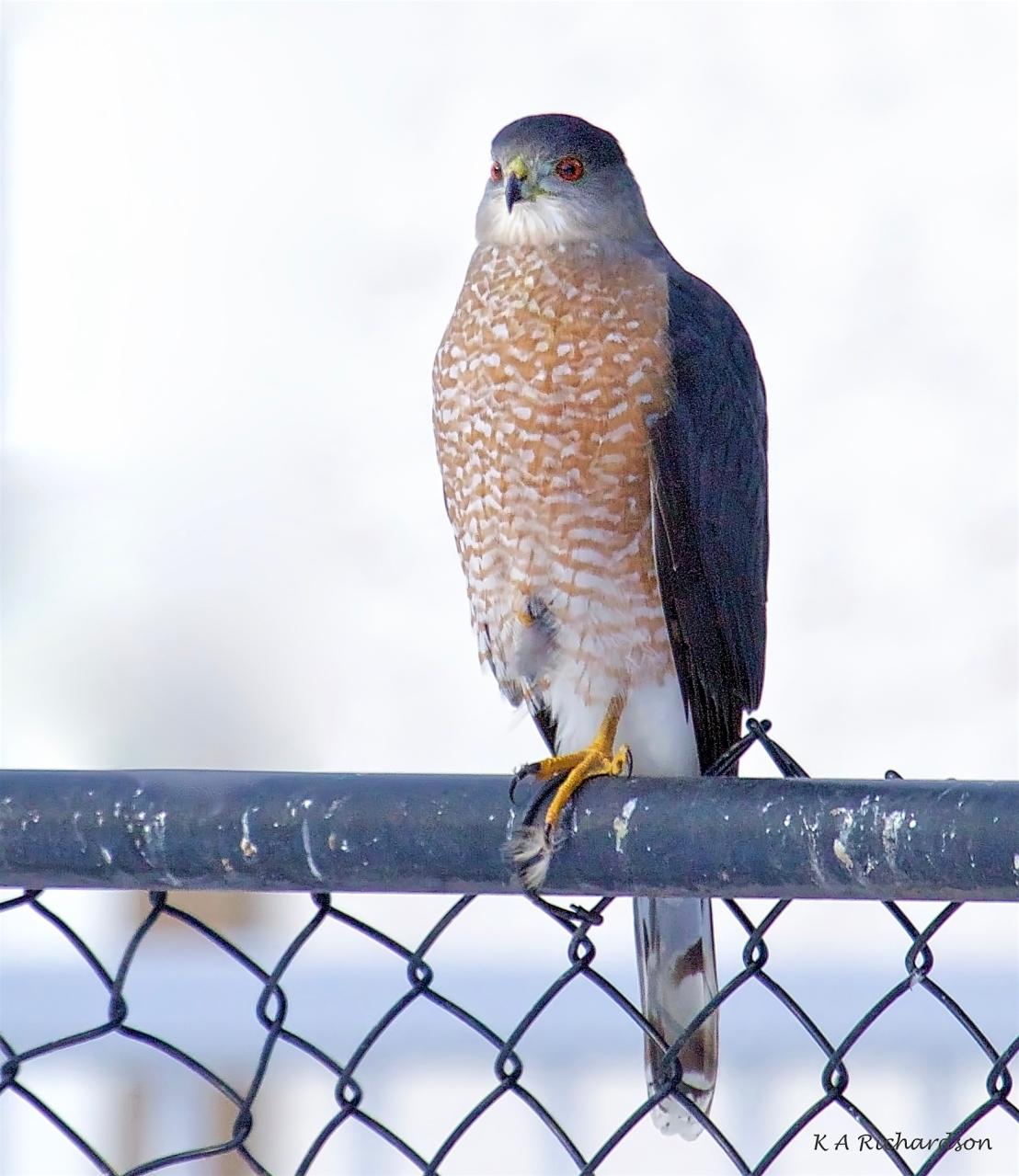 Cooper's Hawk (1).jpg