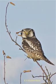 Northern Hawk-owl 101228