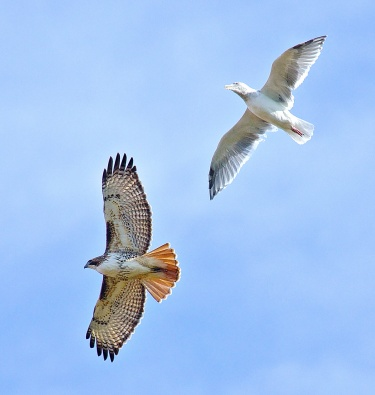 rtha-in-flight-being-harrassed-by-a-gull-2015