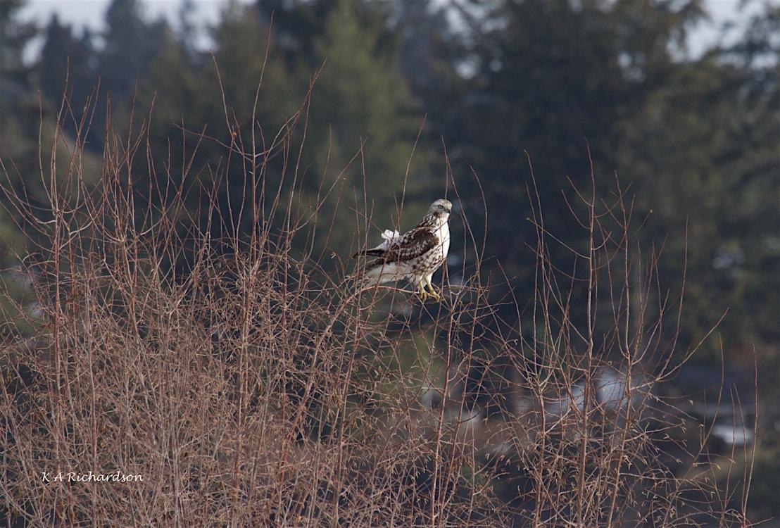 Whitey in the Osier Dogwood (again)  -.jpg