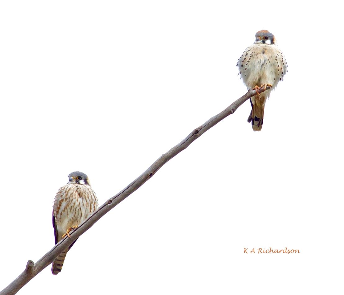 American Kestrel pair
