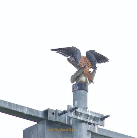 American Kestrels breeding (Falco sparverius)