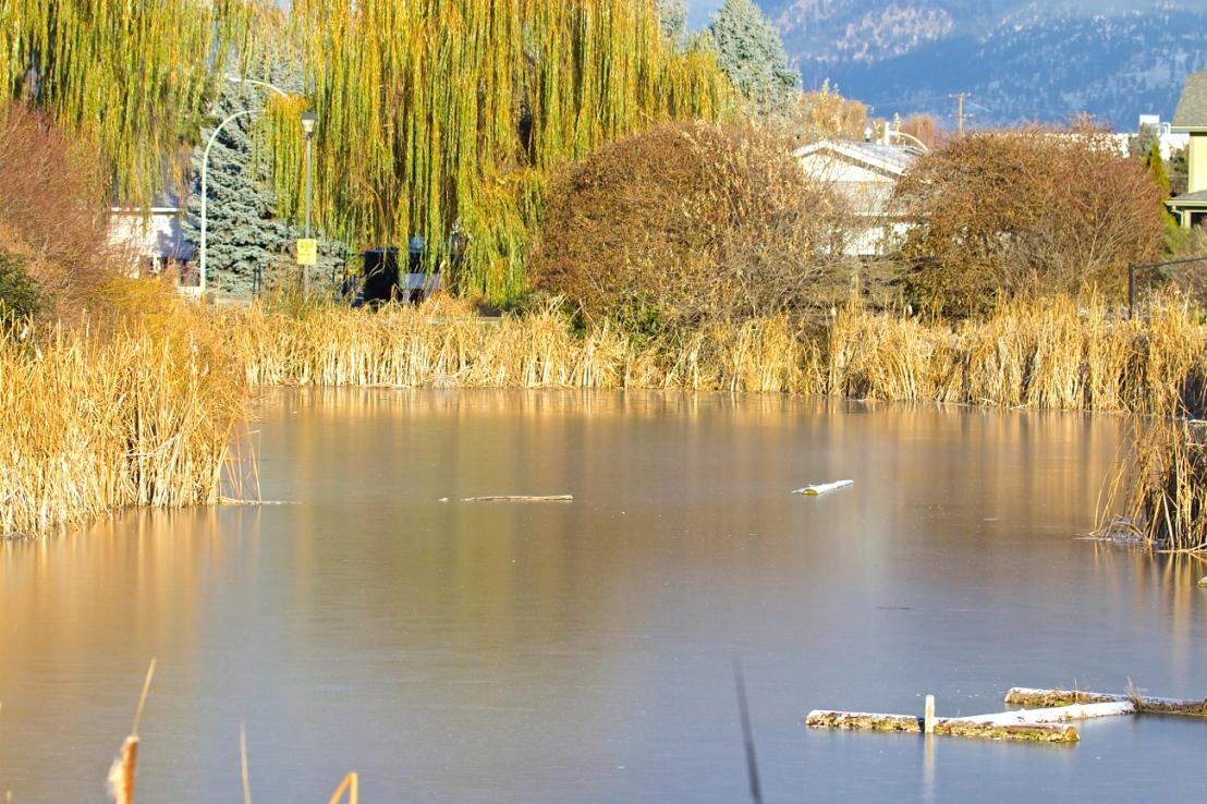 Belmont Pond—late November.jpg
