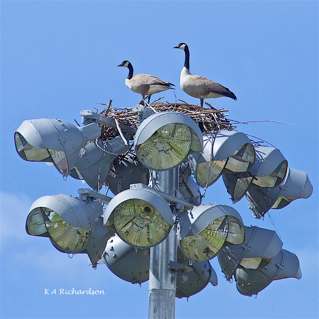 Cangosprey? (1).jpg
