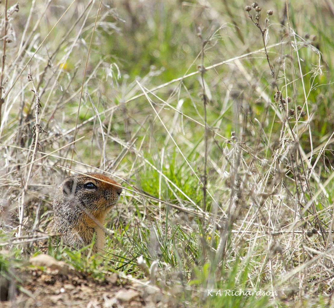 Columbian Ground Squirrel (Urocitellus columbianus).jpg