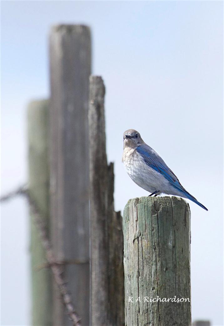 Mountain Bluebird female (Sialia curricoides) - 1