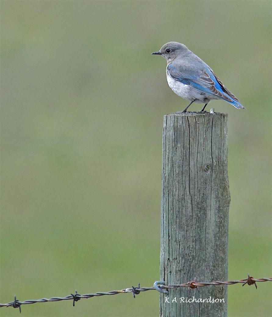 Mountain Bluebird female (Sialia curricoides) - 2