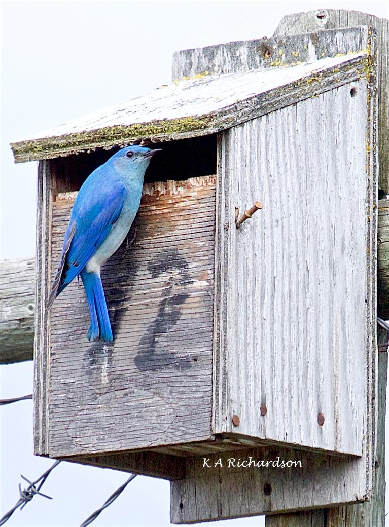 Mountain Bluebird male (Sialia curricoides) - 1