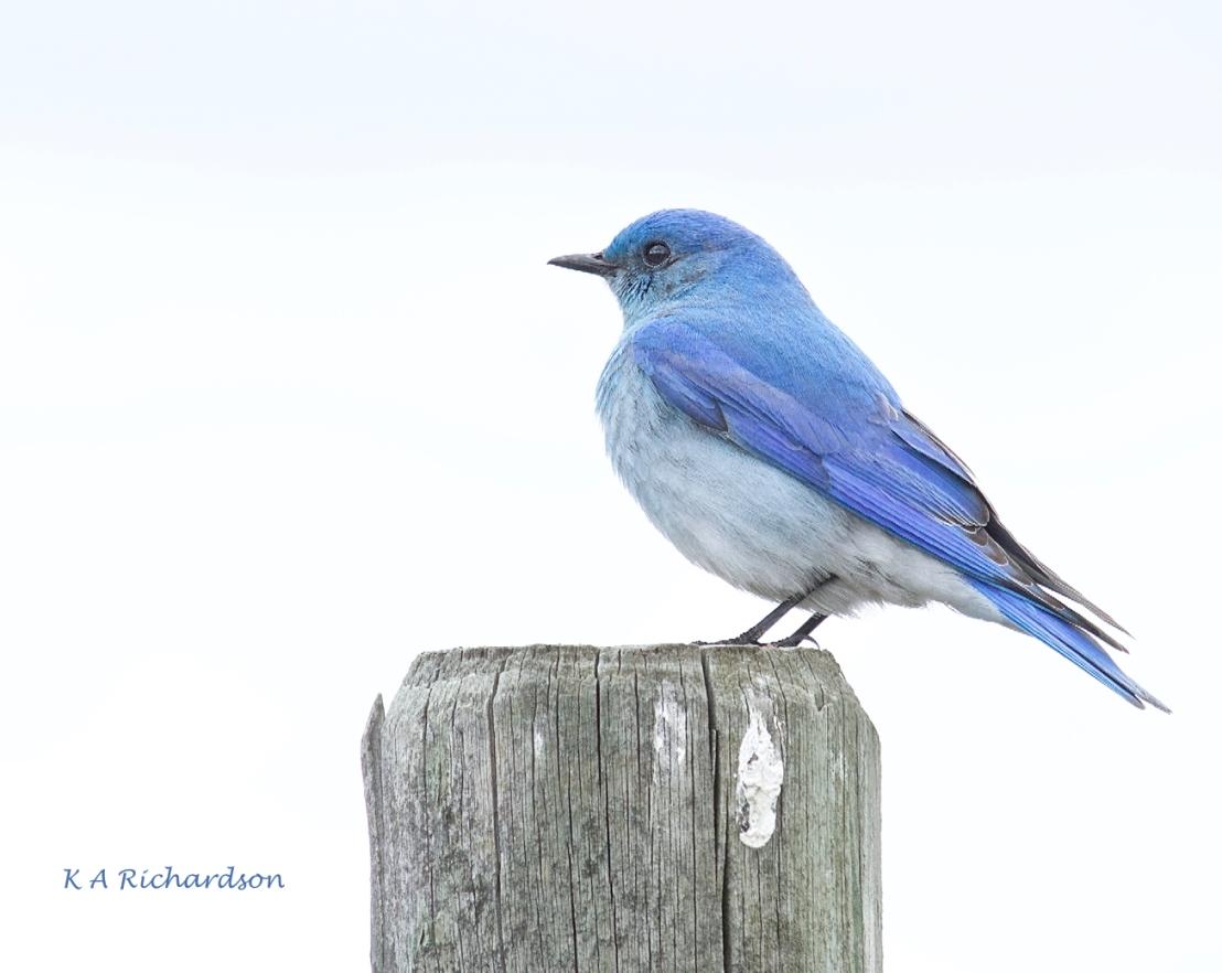 Mountain Bluebird male (Sialia curricoides) - 11