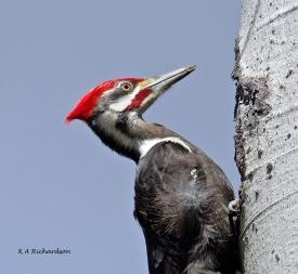 Pileated Woodpecker (Drycopus pileatus).jpg