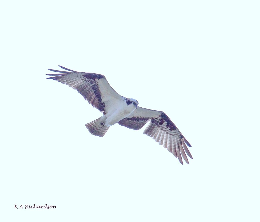 Poppa Osprey (Pandion haliaetus)