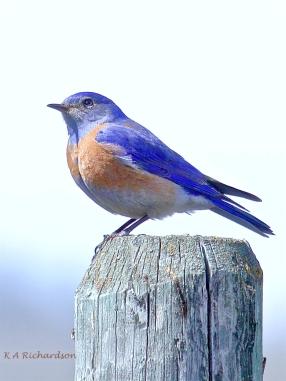 Western Bluebird (Sialia mexicana) at White Lake - 2