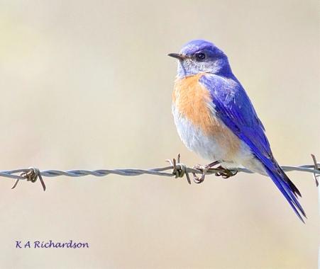 Western Bluebird (Sialia mexicana) at White Lake - 1