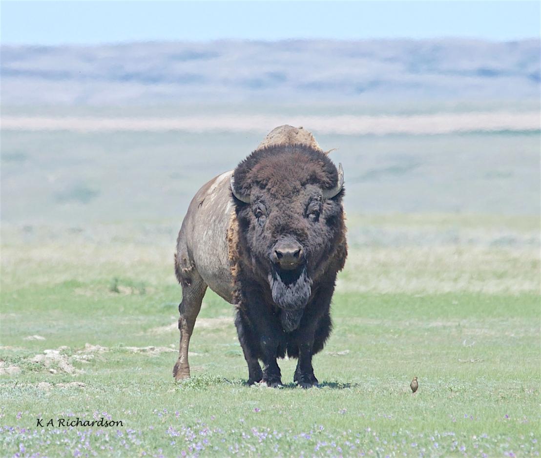 American bison (Bison bison) (3).jpg