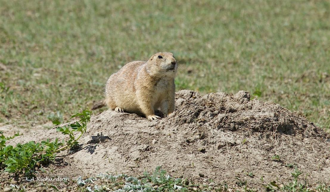 Black-tailed Prairie Dog (Cynomys ludovicianus).jpg
