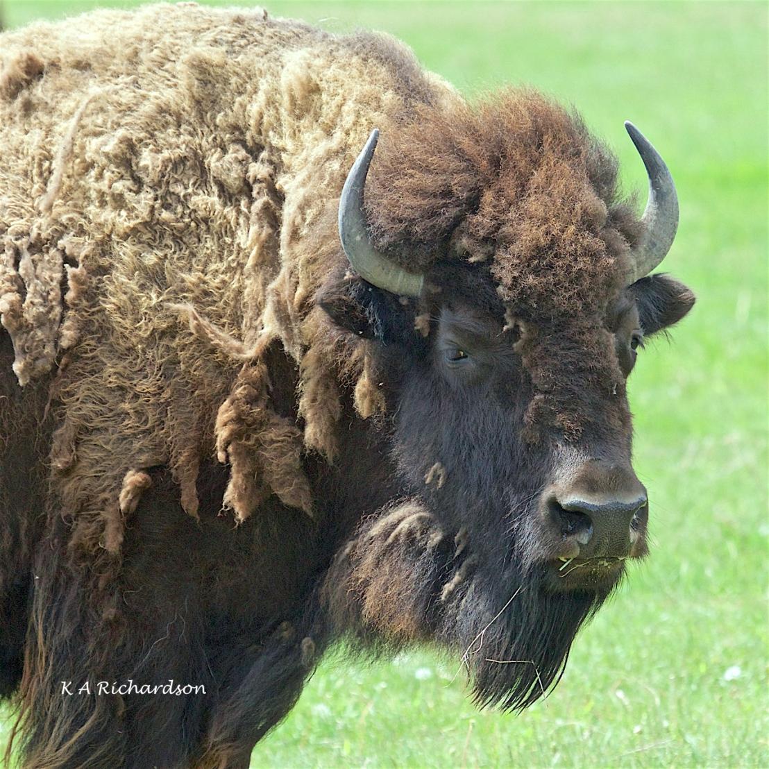 FortWhyteAlive bison (2).jpg