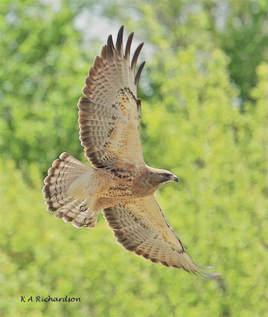 Swainson's Hawk (1).jpg