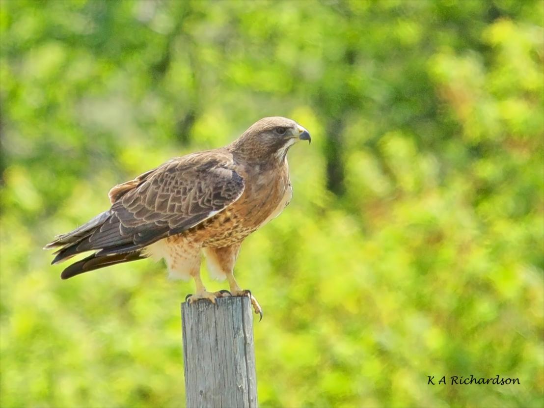 Swainson's Hawk.jpg