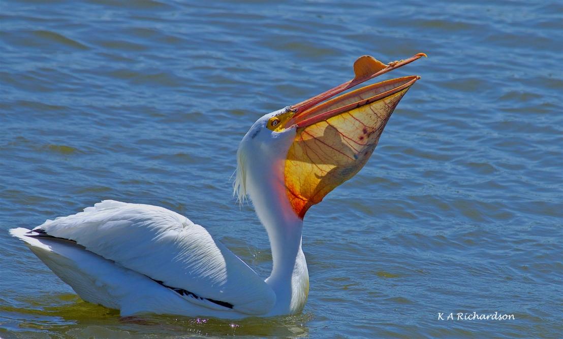 White Pelican (Pelecanus erythrorhynchos) (10).jpg