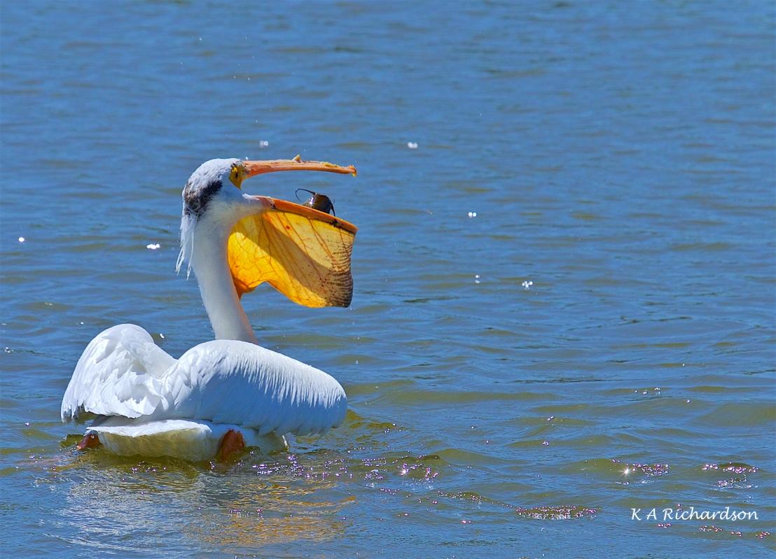 White Pelican (Pelecanus erythrorhynchos) (11).jpg