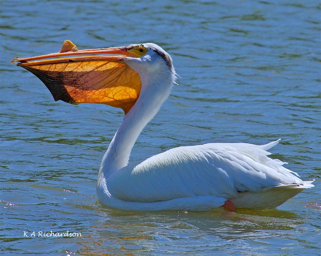 White Pelican (Pelecanus erythrorhynchos) (13).jpg