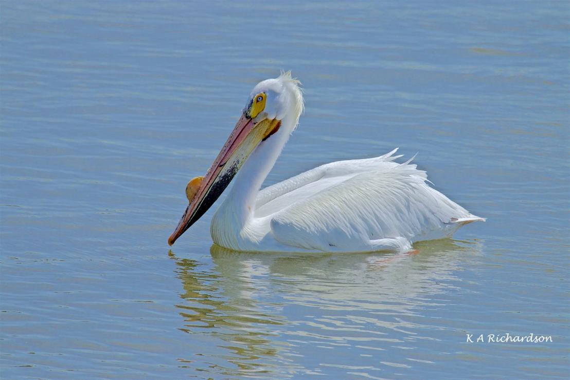 White Pelican (Pelecanus erythrorhynchos) (7).jpg