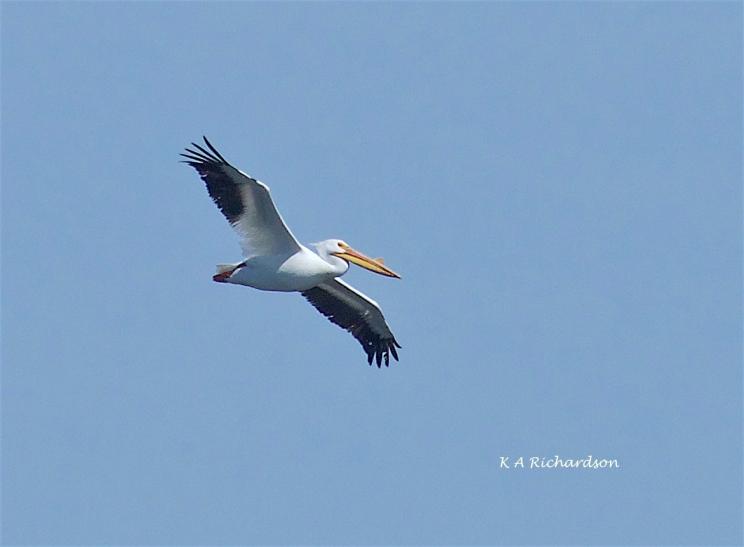 Pelicans erythrorhynchos arriving....