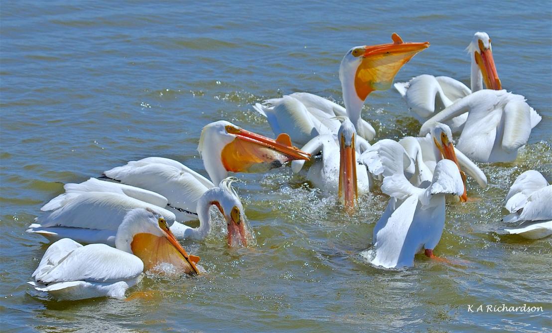 White Pelicans (Pelecanus erythrorhynchos) (8).jpg