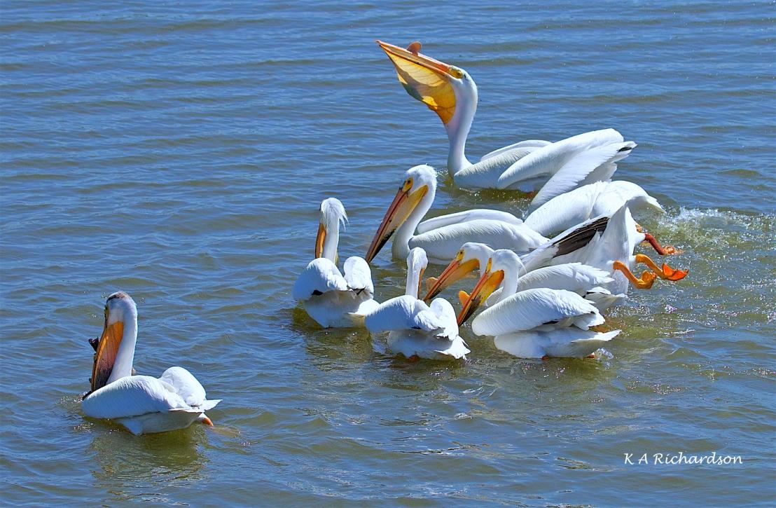 White Pelicans (Pelecanus erythrorhynchos) (9).jpg
