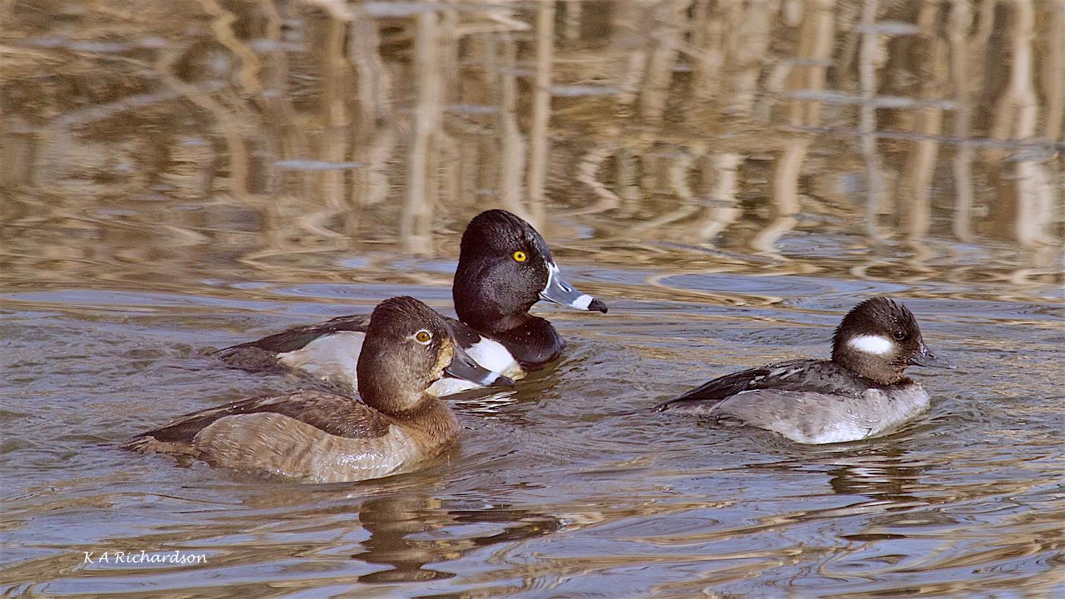 Ring-necked Duck pair (Aythya collaris)  with Bufflehead hen (Bucephala albeola).jpg