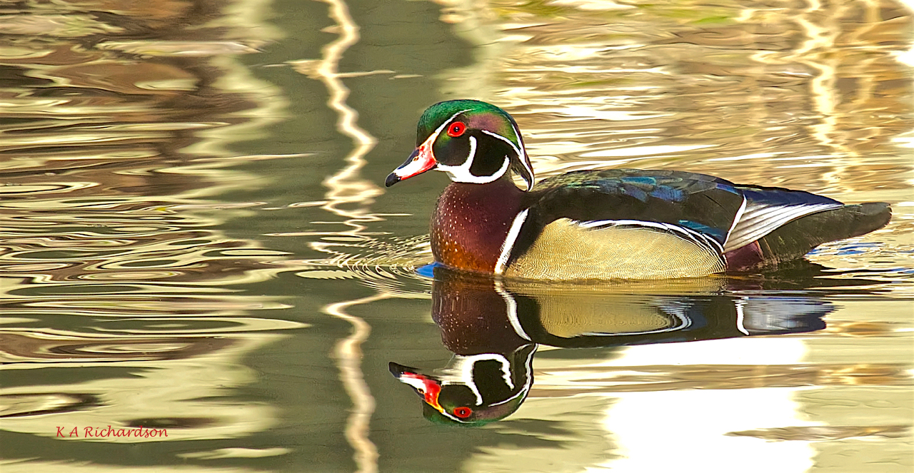 Wood Duck drake (Aix sponsa) -04.jpg