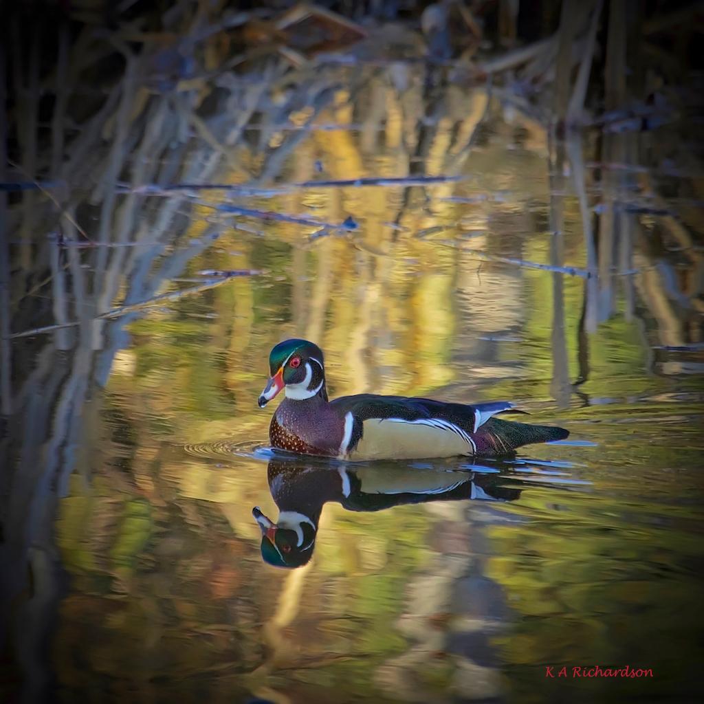 Wood Duck drake (Aix sponsa) - special.jpg